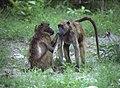 Baboons grooming at Chobe National Park in Botswana. (89017925).jpg