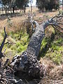Banksia marginata tree fallen IRL.JPG
