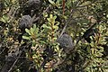 Banksia ornata (32541397641).jpg