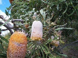 George's taxonomic arrangement of Banksia - Banksia prionotes
