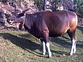 Banteng Domesticated Bali Bull 2.jpg