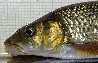 <i>Luciobarbus graellsii</i> Species of fish