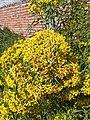 Barkleyanthus salicifolius (flowers).jpg