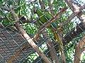 Barranquilla Zoológico Guacamaya.jpg