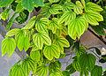 Bauhinia acuminata 05052014 (2).jpg