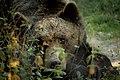 Bear Sanctuary, Zarnesti, Romania (49314609163).jpg