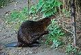 Beaver (2873783255).jpg