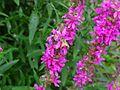 Bee-Pink-Flower-1 ForestWander.jpg