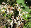 Begonia reniformis (26293261121).jpg