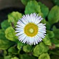 Bellis perennis-fully bloomed flower.jpg
