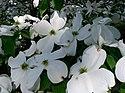 Benthamidia florida2.jpg