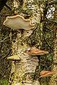 Berkenzwammen (Piptoporus betulinus) (d.j.b.) 03.jpg
