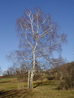 Betula pendula winter.jpg