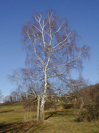 Betula pendula - Tree in winter