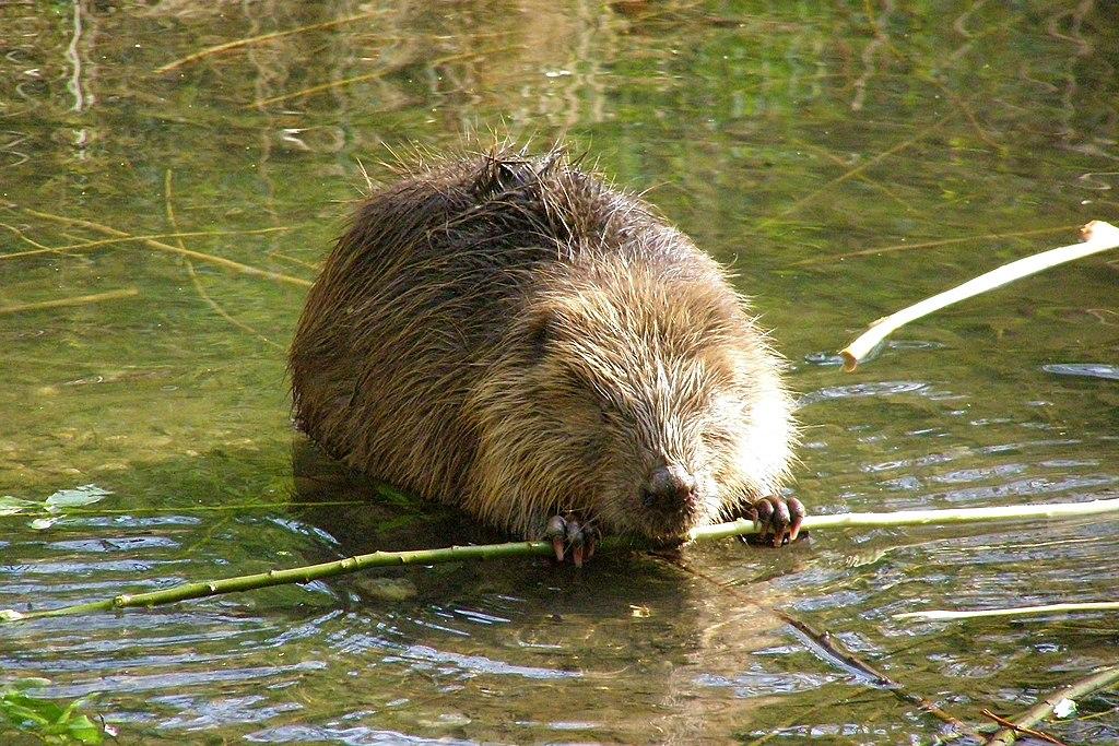 歐亞河狸具有高超的水利工程能力,能打造精巧繁複的水道系統,形成一片片水池,對於濕地復育有很大助益。圖片來源:維基百科。