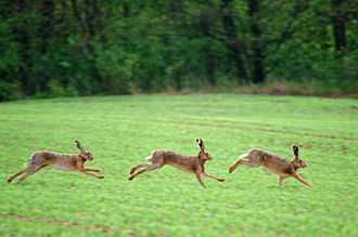 """European hare - Hares fighting (above) and running during """"March madness"""""""