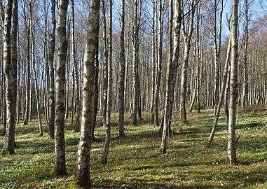 Birch forest Gullmarsskogen 7.jpg