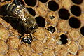 Birth of black bee (Apis mellifera mellifera)1.jpg