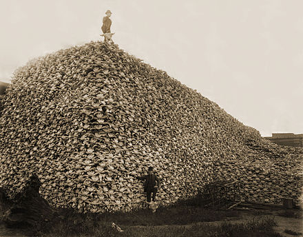Pile of American bison skulls waiting to be processed outside glueworks (Detroit, 1892). Bison skull pile-restored.jpg