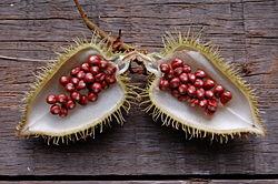 Bixa orellana seeds (roucou).jpg
