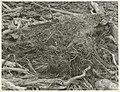 Black-Backed Gull's Nest (2).jpg