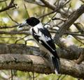 Black-backed Butcherbird. Cracticus mentalis (48641251982).png