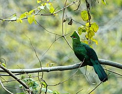 Black-billed Turaco.JPG