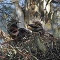 Black-crowned Night Heron Chicks (4631820228).jpg