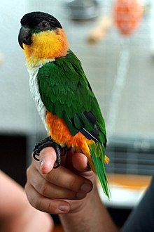 Black-headed Parrot (Pionites melanocephalus) -side.jpg