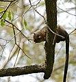 Black-tailed Marmoset (Callithrix melanura) (30959971334).jpg