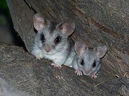 Black-tailed Tree Rat (Thallomys nigricauda) with young (6854291852).jpg