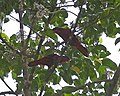 Black-winged Lory (Eos cyanogenia) - Flickr - Lip Kee.jpg