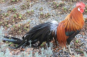 Image Result For Rhode Island Red