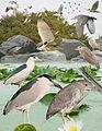 Black Crowned Night heron From The Crossley ID Guide Eastern Birds.jpg