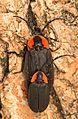 Black Firefly - Lucidota atra, Felsenthal National Wildlife Refuge, Crossett, Arkansas - 01.jpg