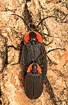 Black Firefly - Lucidota atra, Felsenthal National Wildlife Refuge, Crossett, Arkansas - 01.jpg