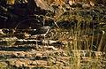 Black Stork (Ciconia nigra) (20765800911).jpg