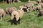 Black White Sheep in Flock.jpg