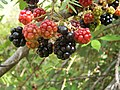 Blackberry fruits09.jpg