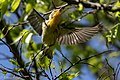 Blackburnian Warbler (female) Sabine Woods TX 2018-04-22 14-35-30 (41273139584).jpg