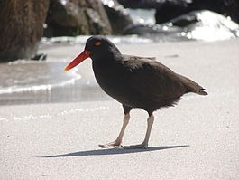 Blackish oystercatcher Bahia Inglesa Chile.jpg