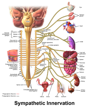 Norepinephrine - Schema of the sympathetic nervous system, showing the sympathetic ganglia and the parts of the body to which they connect.