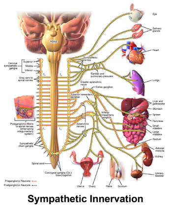 Blausen 0838 Sympathetic Innervation.png