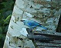 Blue-gray Tanager. Thraupis episcopus (28551188757).jpg