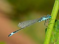 Blue-tailed Damselfly (Ischnura elegans) male (14530998332).jpg