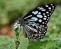 Blue Tiger (Tirumala limniace) on Heliotropium indicum W IMG 9939.jpg
