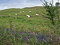 Bluebells, bracken and baa-lambs - geograph.org.uk - 1322997.jpg