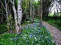 Bluebells by the Bishop's Walk, Nigg. - geograph.org.uk - 1292700.jpg