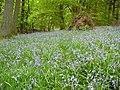 Bluebells in Rigg Wood - geograph.org.uk - 1767804.jpg