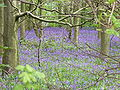 Bluebells wood.jpg